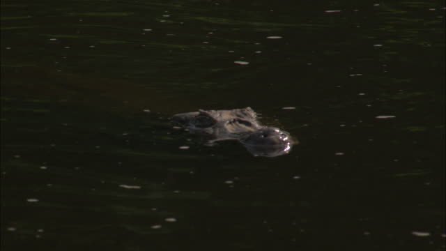 a caiman slowly submerges its snout beneath a river. - caiman stock videos & royalty-free footage