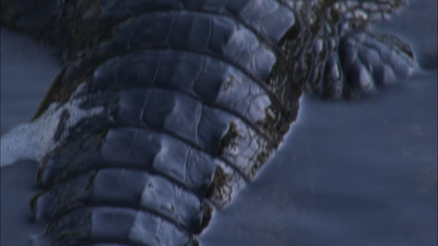 a caiman swims slowly in the river with its back an tail above the surface. - カイマン点の映像素材/bロール