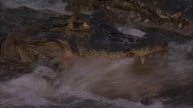 caimans wait motionless in a rushing river. - カイマン点の映像素材/bロール