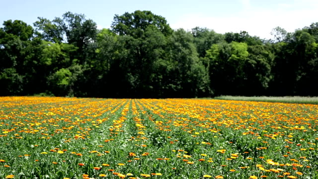 calendula flower field - homeopathic medicine stock videos and b-roll footage