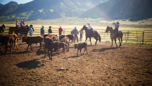 Kalb-branding auf der Ranch in Utah, USA