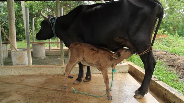 vitello bere latte - vacca video stock e b–roll