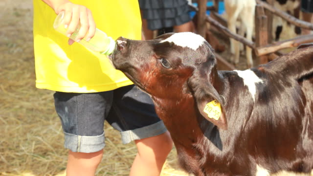 calf feeding - calf stock videos & royalty-free footage