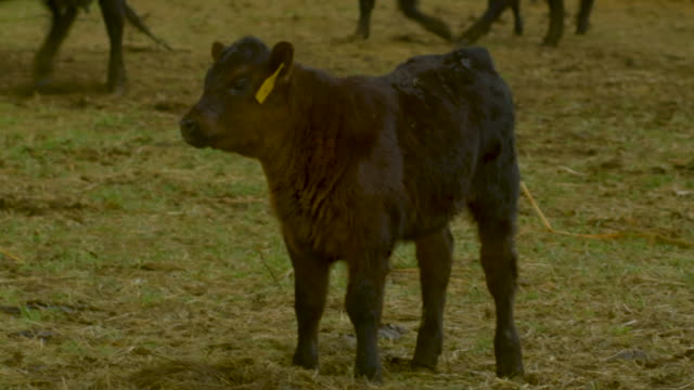Calf Standing in the Pasture