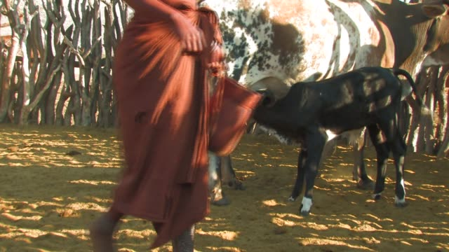 stockvideo's en b-roll-footage met a calf suckles a cow as a himba woman passes a milk bucket to a child. available in hd. - namibië