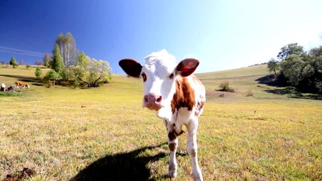 calf - meadow stock videos & royalty-free footage