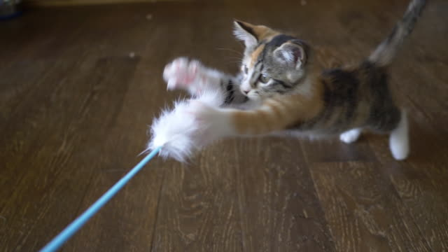 A Calico Kitten Playing with the Cat Feather Toy (slow motion)