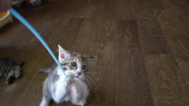 A Calico Kitten Playing with the Cat Feather Toy