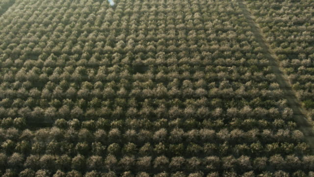 USA, California: Almond trees fields