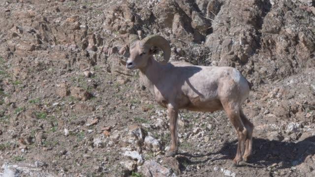 california bighorn sheep found near palm springs in the desert mountains - bighorn sheep stock videos & royalty-free footage