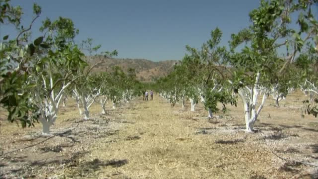 stockvideo's en b-roll-footage met ktxl california citrus growers trimming painting trees to deal with drought growers in fresno have sawed off large portions of their trees because... - fresno californië
