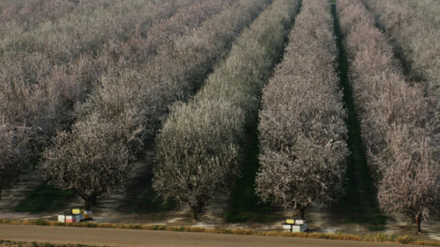 USA, California: Close up on almond trees fields