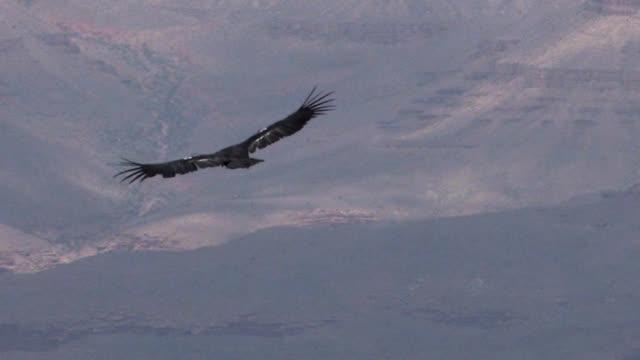 california condor at grand canyon soar away cu - california condor stock videos and b-roll footage
