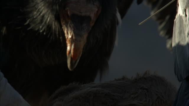 California condor beak dipping with blood