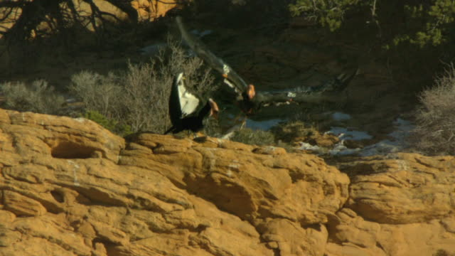 california condor displays and takes off from perch - california condor stock videos and b-roll footage