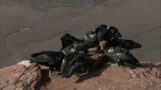 california condor feeding on carcass - california condor stock videos and b-roll footage