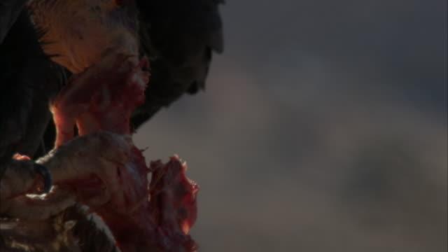 california condor feeds on bloody bone of vertebrae - tearing stock videos & royalty-free footage