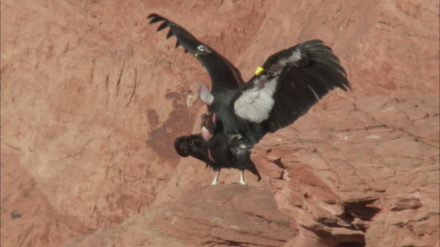 california condor flaps wings as it mates - mating stock videos & royalty-free footage