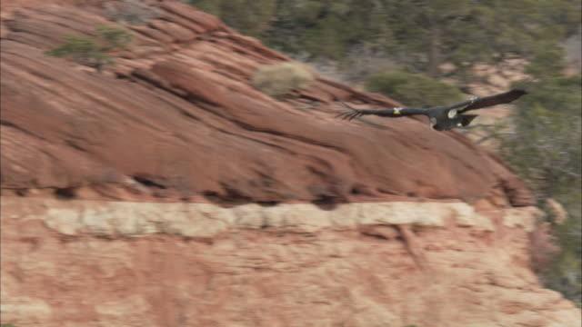 california condor flying above rough terrain - california condor stock videos and b-roll footage
