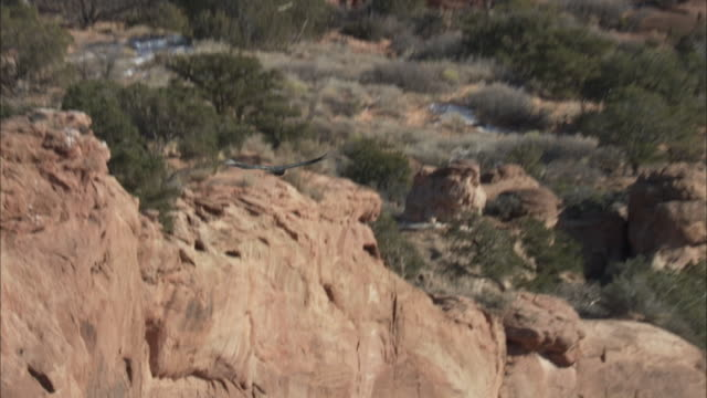 california condor flying up red rock face - california condor stock videos and b-roll footage