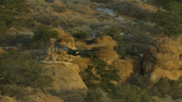 california condor gliding above rocks and trees - california condor stock videos and b-roll footage