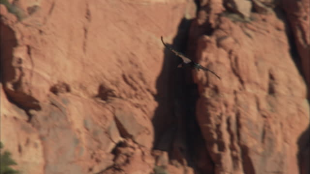 california condor gliding across sky in front of rugged cliffs - california condor stock videos and b-roll footage