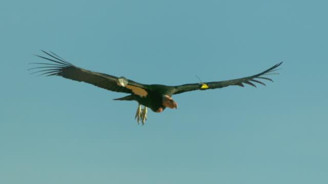 california condor gliding in blue sky - california condor stock videos and b-roll footage
