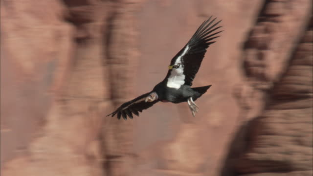 California condor gliding in front of red rock cliff face