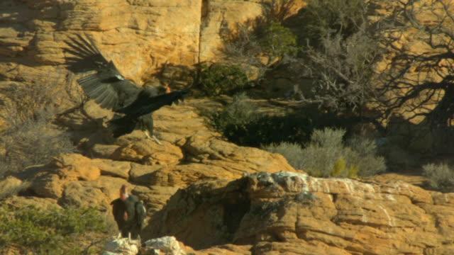 california condor gliding in to land on perch - california condor stock videos and b-roll footage