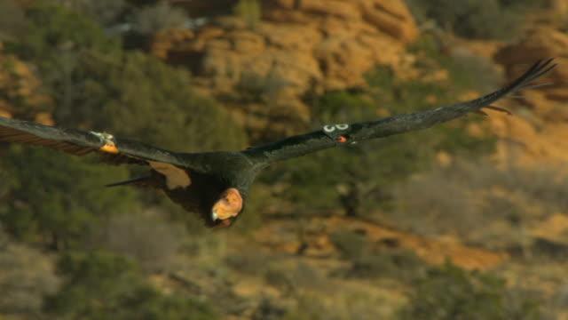 california condor gliding through sky in slow motion - california condor stock videos and b-roll footage