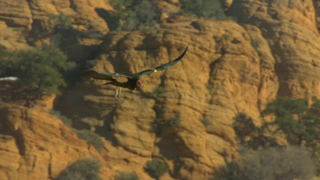 california condor gliding with wings spread - california condor stock videos and b-roll footage
