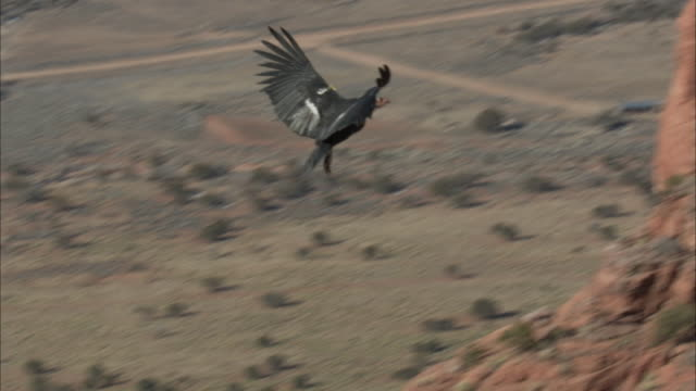 california condor landing on edge of cliff - california condor stock videos and b-roll footage
