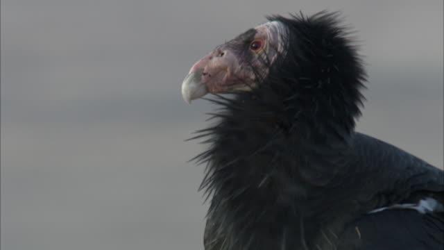 california condor perching on rock - california condor stock videos and b-roll footage