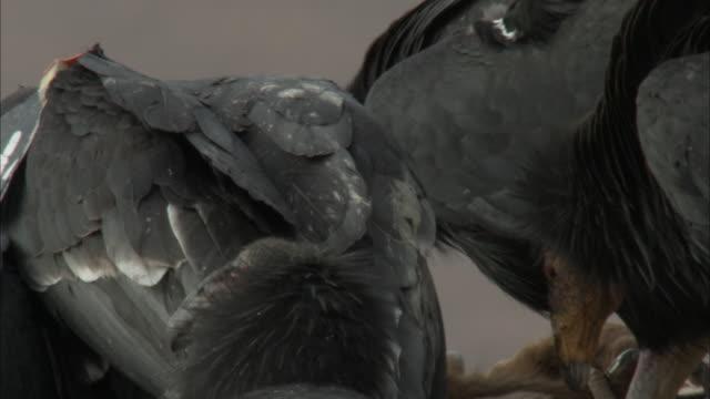 california condor ripping flesh from dead animal - california condor stock videos and b-roll footage