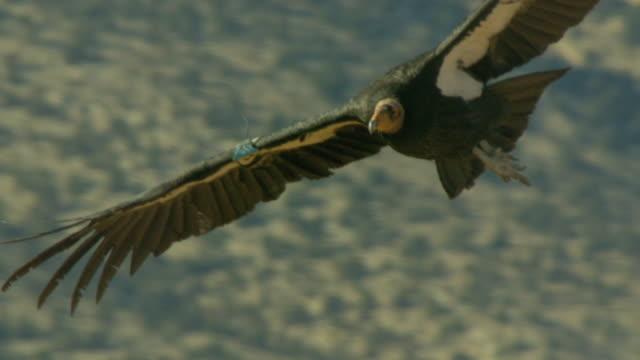 california condor soaring through air - california condor stock videos and b-roll footage