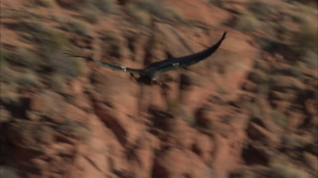 vidéos et rushes de california condor swoops and flies over red rocks and trees - rapace