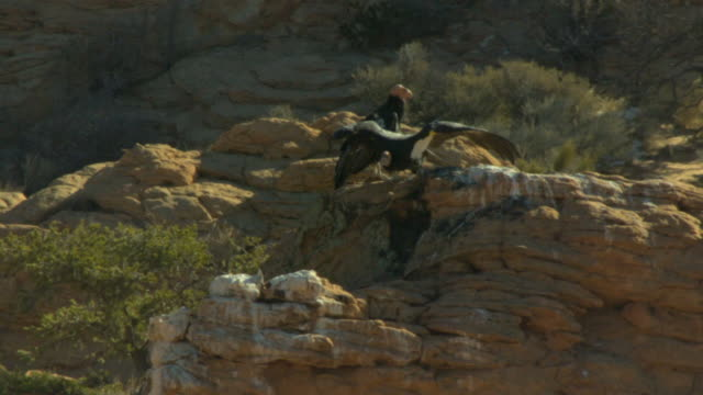 california condor taking off from perch on cliff - california condor stock videos and b-roll footage