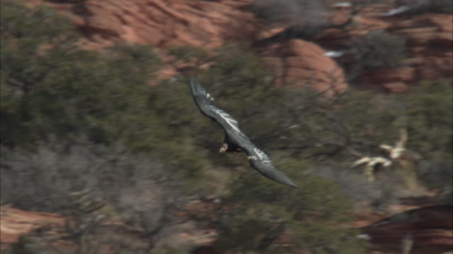 a california condor turns in the air and glides lower - california condor stock videos and b-roll footage