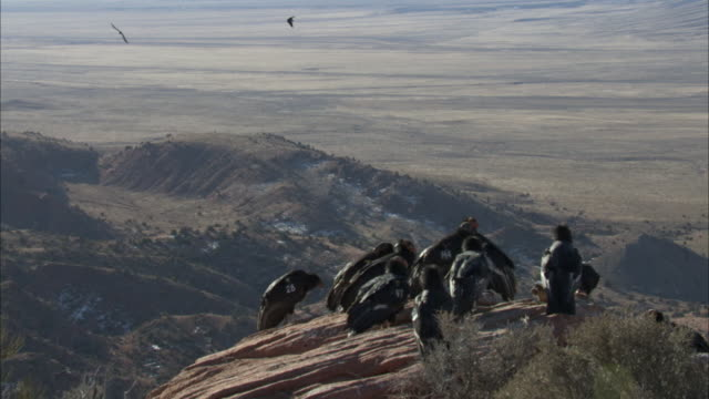 california condors flying above flock feeding - wildlife tracking tag stock videos and b-roll footage