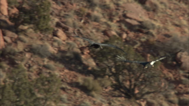 california condors flying in front of red cliffs and trees - california condor stock videos and b-roll footage