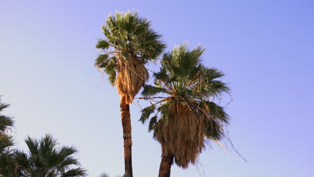 california fan palm, washingtonia filifera, joshua tree national park - fan palm tree stock videos & royalty-free footage
