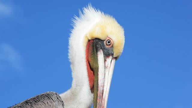 Kalifornien-grau-Pelikan