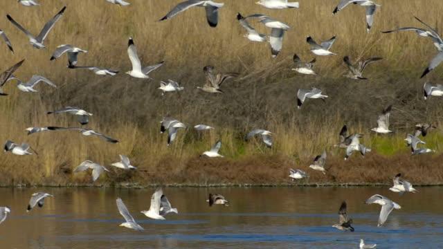 vídeos y material grabado en eventos de stock de california gulls, larus californicus, flying - marisma