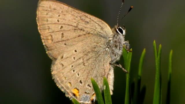 vidéos et rushes de california papillon porte-queue - des papillons dans le ventre