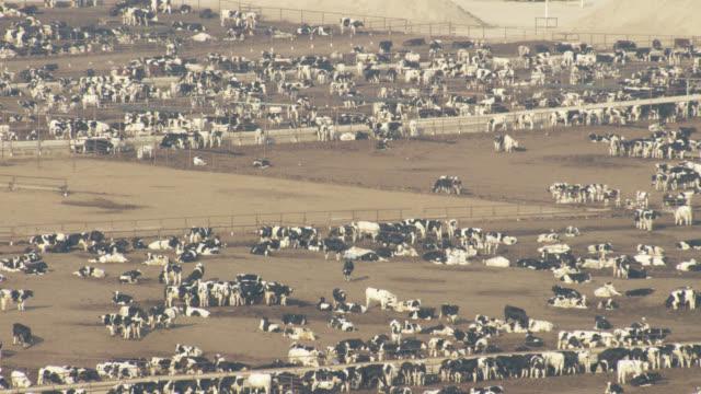 vidéos et rushes de usa, california: large group of cows - cattle