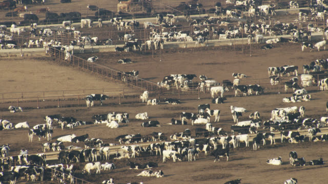 usa, california: large group of cows - rind stock-videos und b-roll-filmmaterial