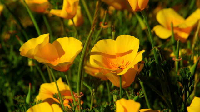 california poppies bloom in a meadow. - poppy plant stock videos and b-roll footage