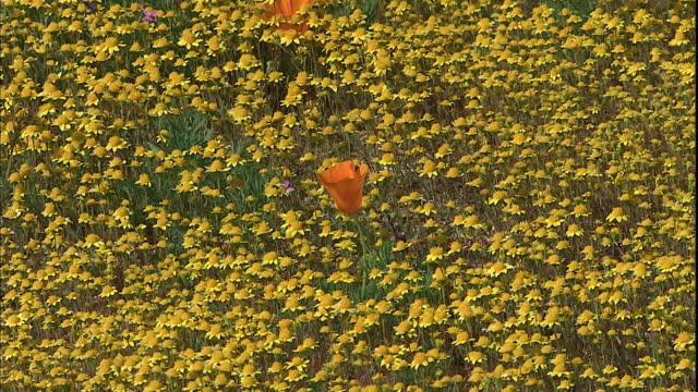 California poppies bloom in a sea of yellow wildflowers.