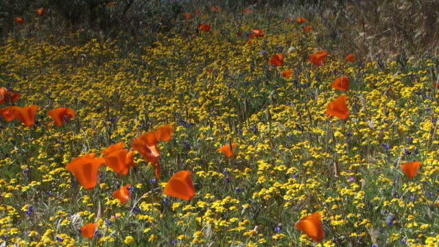 california poppies in a field of yellow wildflowers. - オニゲシ点の映像素材/bロール
