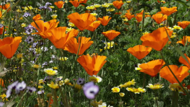 california poppies - wind stock videos & royalty-free footage